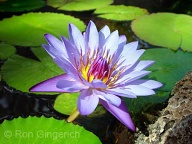 This beautiful Lotus can be seen in the Koi pond at the Four Seasons Resort Lana`i at Manele