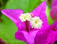 Although not often noticed, Bougainvillea does have tiny delicate flowers in the center of the brightly colored leaves