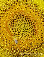 The Fibanacci pattern is vislble in the center of this Sunflower