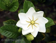 An unusual and wonderfully fragrant gardenia