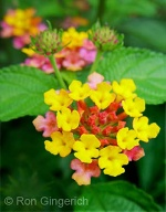 The clusters of tiny Lantana flowers appear as a single ball of color from a distance