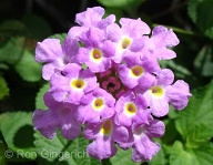 Lantana has many different colors