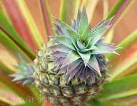This small Pineapple is prized for it's beautiful coloration