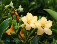 A wonderfully fragrant lei.  It you have ever worn one, you will remember this flower forever...